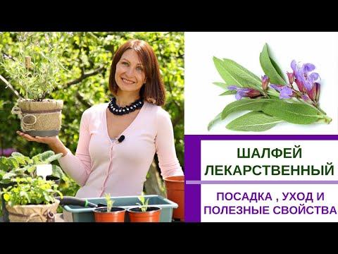 ШАЛФЕЙ ЛЕКАРСТВЕННЫЙ - выращивание и уход, полезные свойства и применение