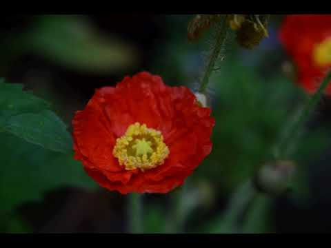 Icelandic poppy opens its flower 2019-06-17