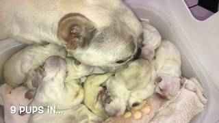 French Bulldog Self Whelping Litter Of 11! LILAC PLATINUMS Natural Delivery Labour Puppy Journey
