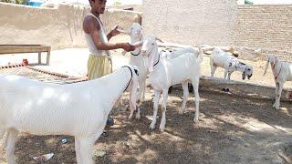 Mohammed qayyum goat farm 03496789033 - rajanpuri bakriyan