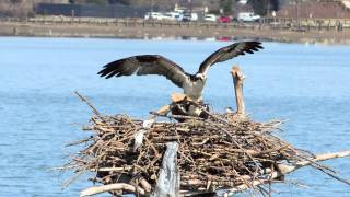 Osprey Love Nest