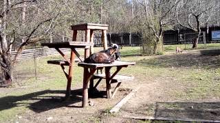 preview picture of video 'Prague : Zoo nook Hostivar : Goats 2'