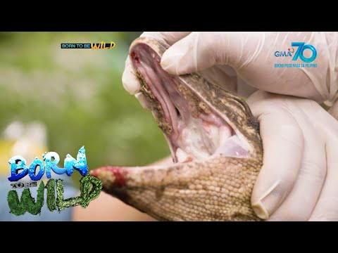 [GMA]  Born to be Wild: Doc Ferds gives medical assistance to 11 monitor lizards in distress