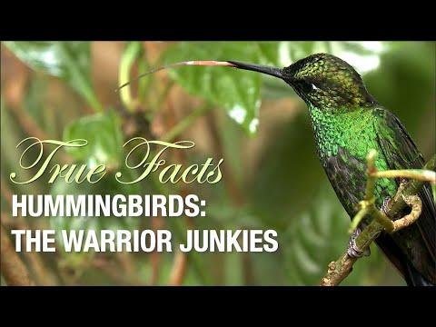 Bojovní kolibříci