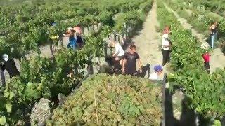 Уборка винограда в Анапе