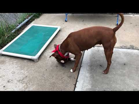 Princess, an adoptable American Staffordshire Terrier in Long Beach, NY