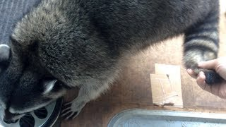 preview picture of video 'Fred the Friendly Raccoon - Part 24'