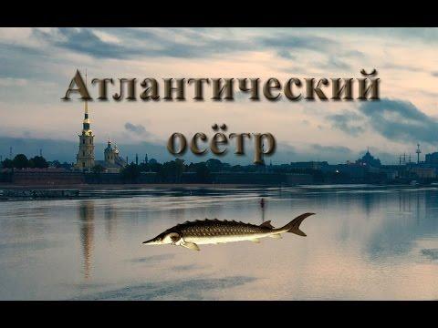 Русская Рыбалка 3.9 Атлантический Осетр