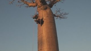 preview picture of video 'Madagaskar 1: Die Baobab-Allee / The Avenue of the Baobabs'