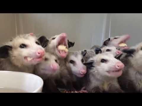 Opossums Enjoying Their Banana