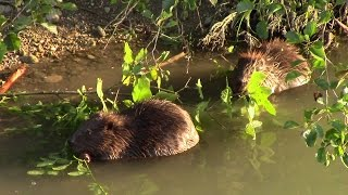 preview picture of video 'Beavers at the Marchfeld Channel, Vienna / Biber am Marchfeldkanal'