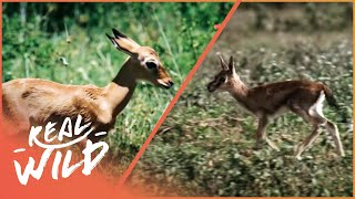Fawn Identity [Impala And Gazelle Documentary] | Real Wild