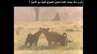 preview picture of video 'عندما تتطفل و تتعدى الضباع على منطقة الأسود'