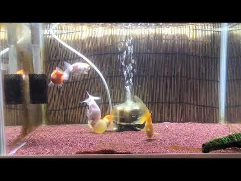 【金魚】ずっと下を向いて泳ぐ水泡眼