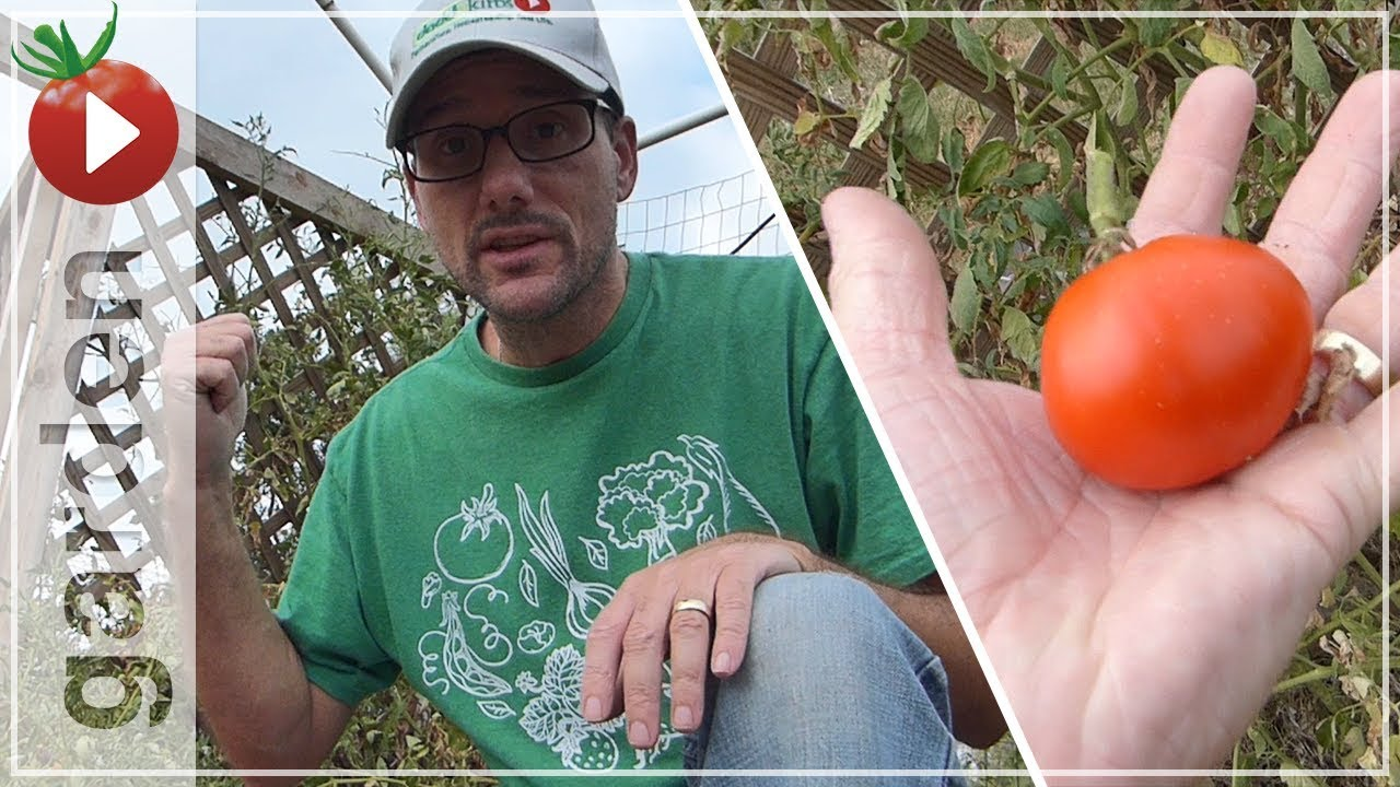 growing tomato plants in the heat video of one great plant