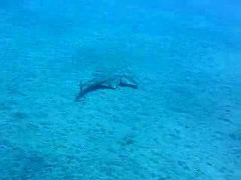 Engelhai auf Lanzarote mit Nautic Dive, Lanzarote,Spanien