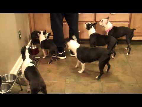 Boston Terriers Monkeying Around