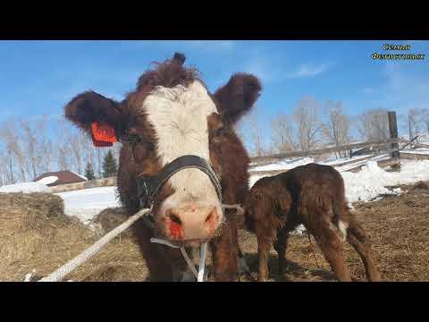 Корова напала. Деревня пополняется. Я лентяйка 😁/семья Фетистовых