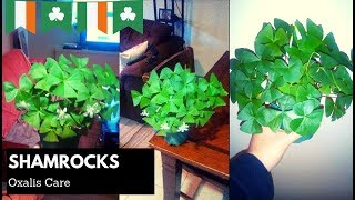 Growing Four Leaf Clover/Shamrock for St. Patrick's Day ☘️