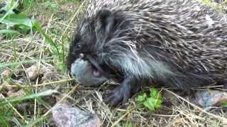 Смотреть онлайн Как дикий еж кушает мышку