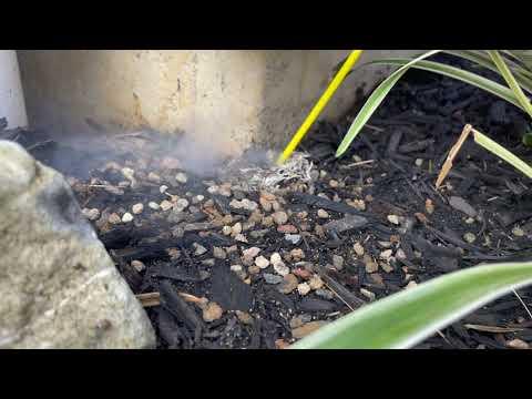 Hidden Yellow Jacket Ground Nest Found Next to the Garage in Metuchen, NJ