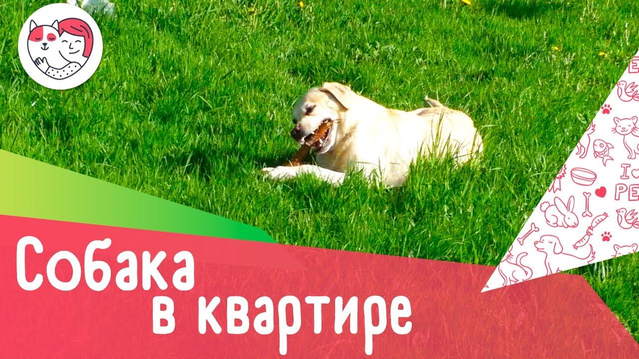 4 минуса содержания крупной собаки в квартире