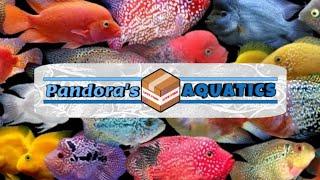 SRT red texas Female with Red GB flowerhorn male - basstrigga1