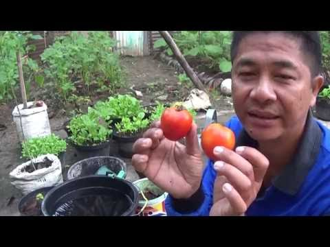 Video Cara Mudah Memulai Menanam Sayuran Tomat di Pekarangan Rumah