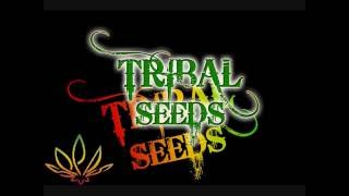 Gambar cover Tribal Seeds Beautiful Mysterious