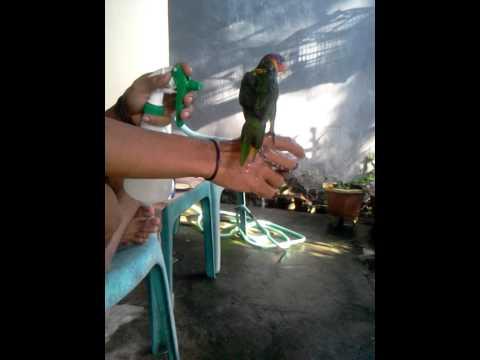 Video Cara memandikan burung nuri agar cepat jinak