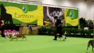 Charlee at 4th Pro Pac Classic Championship dog show part 4 - best of group segment