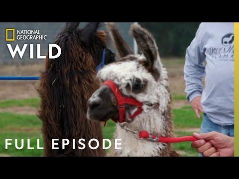 Whole Llama Love (Full Episode) | Heartland Docs, DVM