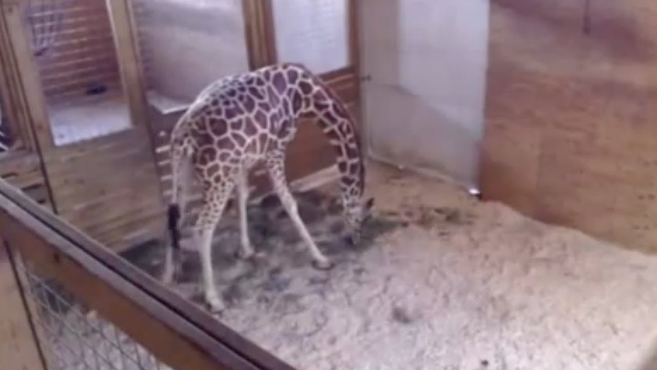 Live Giraffe Birth Pulled From YouTube For... NUDITY??? thumbnail