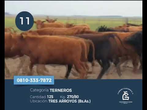 Lote Machos - Tres Arroyos