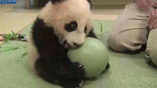 Super cute panda!how can they be so cute?