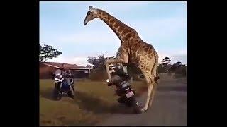 Жираф угоняет мотоцикл | Подборка новых приколов 2019