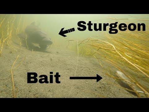 Størfiskeri fra kajak i en lille å 2017 afsnit 3