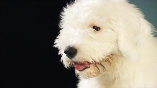 Toxic Dog Treats: Whats Killing So Many Dogs? (CBC Marketplace)