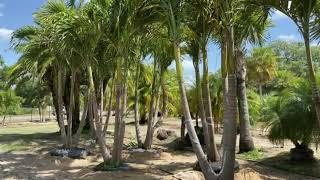 Large Christmas Palms