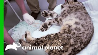 Zookeepers Have Made A Very Difficult Choice About This Ailing Snow Leopard