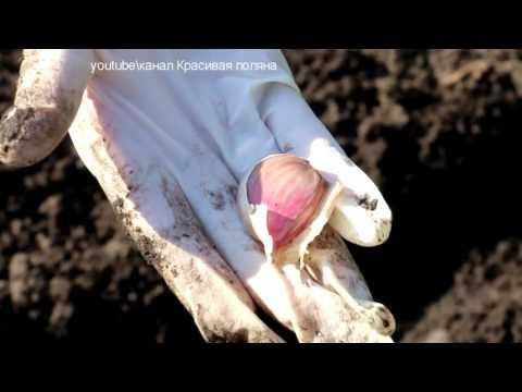Как сажать зимний чеснок