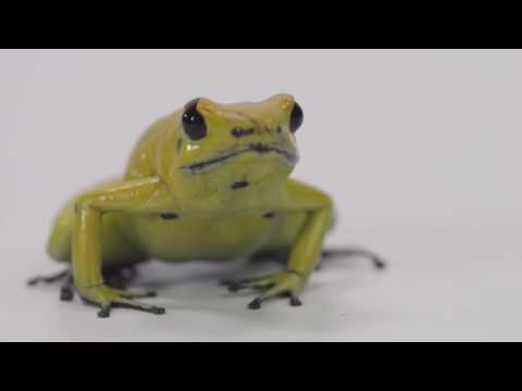 The Most Poisonous Animal in the World - Poisonous Dart Frog