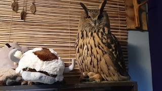 The owl is sitting on her bum calmly, hootingly.