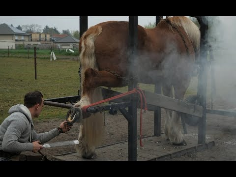 Hot shoeing a draft horse. Whole process in detail.