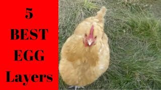 Top 5 egg laying chickens