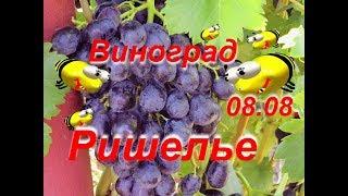 Виноград - Ришелье на даче (характеристика сорта)