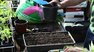 How To Plant Seeds 'Cosmos'