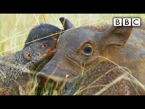 Špióna opečovávají mangusty - Spy in the Wild