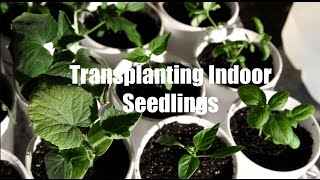 $10 Garden Series # 6- How to Transplant Seedlings When Starting Seeds Indoors