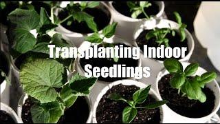 $10 Garden Series # 6- How to Transplant Seedlings When Starting Seeds Indoors